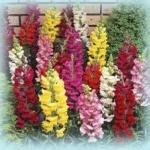 ดอกลิ้นมังกร ดรากาโน่ มิกซ์ Antirrhinum Dragano Mix / 30 เมล็ด