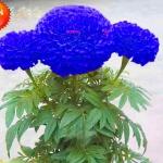 ดอกดาวเรืองสีฟ้า Marigold blue seeds / 10 เมล็ด