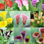 ดอก Calla Lily Mix (คละสี) / 10 เมล็ด