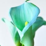 Calla Lily Bulbs ลิลลี่ หัว( สีฟ้าอ่อน) 1 หัว