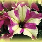 ดอกพิทูเนีย โซฟิสติก้า ไลม์ ไบคัลเลอร์ Petunia Sophistica Lime Bicolour/ 15 เมล็ด