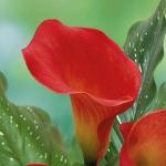 Calla Lily Bulbs ลิลลี่ หัว(สีแดง) 1 หัว
