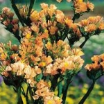 ดอกสแตติส (ไม้ตัดดอก) กอล์ฟ แอพริคอต / 50 เมล็ด
