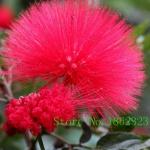 ดอก Albizia Julibrissin Tree (แดง) / 10 เมล็ด