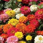 ดอกบานชื่น (ดอกซ้อนคละสี) Zinnia Mix