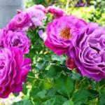 กุหลาบเลื้อย สีม่วง (PURPLE CLIMBING ROSE) / 10 เมล็ด