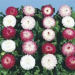Bellis English Daisy Habanera Mix / 30 เมล็ด