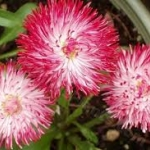 Bellis English Daisy Pink/ 20 เมล็ด