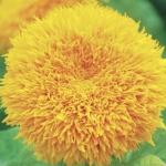 ดอกทานตะวัน ซันโกลด์ เทดดี้ แบร์