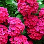 ไฮเดรนเยีย สีแดง Hydrangea Red / 10 เมล็ด