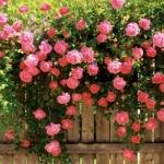 กุหลาบเลื้อยสีชมพู Pink Lady Rose Climbing / 10 เมล็ด
