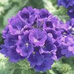 Petunia Multiflora Multis Violet พิทูเนีย มัลติฟลอร่า มัลทิส ไวโอเล็ต / 100 เมล็ด