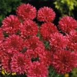 ดอก Centaurea (แดง) / 10 เมล็ด