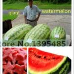 แตงโม North Carolina Giant Watermelon / 5 เมล็ด