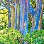 ยูคาลิปตัส สีรุ้ง Rainbow Eucalyptus / 30 เมล็ด