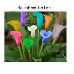ดอก Calla lily / 10 เมล็ด