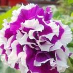 ดอกพิทูเนีย ชามิ่ง Charming Petunia / 20 เมล็ด