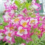 ดอกชิซานตัส Schizanthus : Mix / 50 เมล็ด