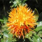 ดอกคำฝอย( Safflower) / 10 เมล็ด
