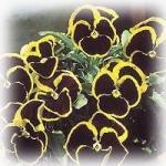ดอกหน้าแมว Pansy Brunig / 30 เมล็ด