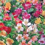 ดอก Peruvian lily alstroemeria / 10 เมล็ด