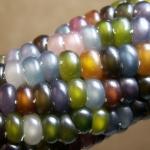 ข้าวโพดพลอย Glass Gem Ornamental Corn / 5 เมล็ด