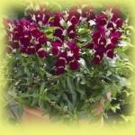ดอกลิ้นมังกร Antirrhinum Bells Purple and White / 50 เมล็ด