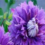 ดอก Clematis seeds Mix / 20 เมล็ด