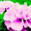 ดาวเรืองฝรั่งเศส สีชมพู / 20 เมล็ด thumbnail 1