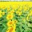ทานตะวันสีเหลืองดอกใหญ่ / 50 เมล็ด thumbnail 3