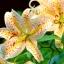 ดอกลิลลี่ Yellow Heart Red Spots White lily / 10 เมล็ด thumbnail 1