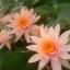 บัวฝรั่งสีส้ม / 50 เมล็ด thumbnail 3