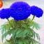 ดอกดาวเรืองสีฟ้า Marigold blue seeds / 10 เมล็ด thumbnail 1