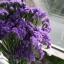 ดอกสแตติสสีม่วง Statice Purple / 20 เมล็ด thumbnail 5