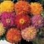 บานชื่น แคคตัส คละสี / 20 เมล็ด thumbnail 1