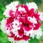 พิทูเนียสีแดงขอบขาว Charming Petunia / 20 เมล็ด thumbnail 1