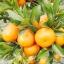 เมล็ดส้ม Orange seeds / 5 เมล็ด thumbnail 3
