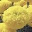 ดาวเรือง สีเหลืองดอกใหญ่ / 20 เมล็ด thumbnail 1