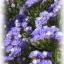 ดอกสแตติสสีม่วง Statice Purple / 20 เมล็ด thumbnail 2