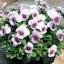 Viola Baby Face Orchid Frost ไวโอล่า เบบี้ เฟซ ออร์คิด ฟรอสต์ / 50 เมล็ด thumbnail 1