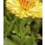 """ดอกคาเลนดูล่า""""อีคลิปส์"""" CALENDULA ECLIPSE MIX / 20 เมล็ด thumbnail 3"""