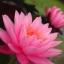 บัวสีชมพู / 50 เมล็ด thumbnail 1