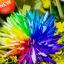ดอกเบญจมาศสีรุ้ง Rainbow Chrysanthemum Flower Seeds / 20 เมล็ด thumbnail 1