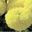 ดาวเรือง สีเหลืองดอกใหญ่ / 20 เมล็ด thumbnail 2