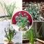เมล็ดSpring grass seeds / 5 เมล็ด thumbnail 2