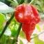 พริกเผ็ดระดับโลก Trinidad Moruga Scorpion Chile Pepper / 10 เมล็ด thumbnail 1
