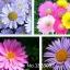 ดอก Daisy(คละสี) / 20 เมล็ด thumbnail 1