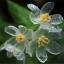 ดอก Diphylleia Grayi / 5 เมล็ด thumbnail 1