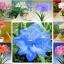 ดอก Amaryllis seeds (คละสี)/ 10 เมล็ด thumbnail 1