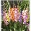 Gladiolus แกลดิโอลัส (คละสี) / 1 หัว thumbnail 1